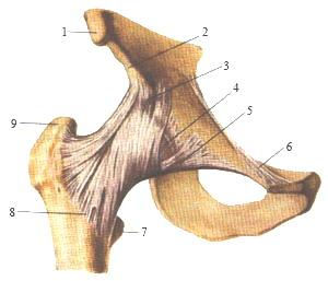 Связки тазобедренного сустава - вид спереди