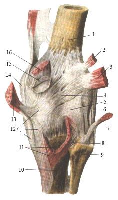 Коленный сустав - вид сзади