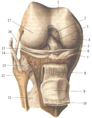 Коленный сустав правый - вид спереди